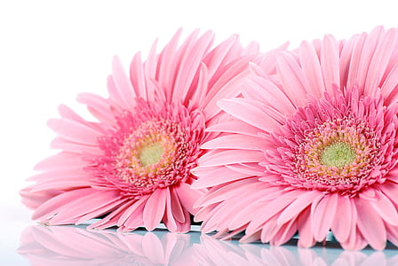 two pink sunflowers on white surface
