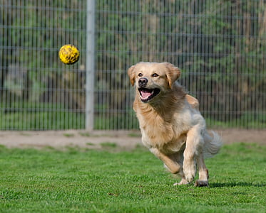 light golden retriever runs and about to catch yellow ball at daytime