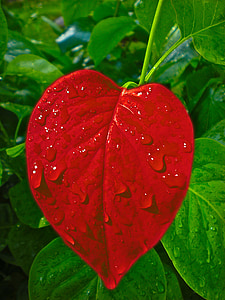 red leaf close up photo with dew drops
