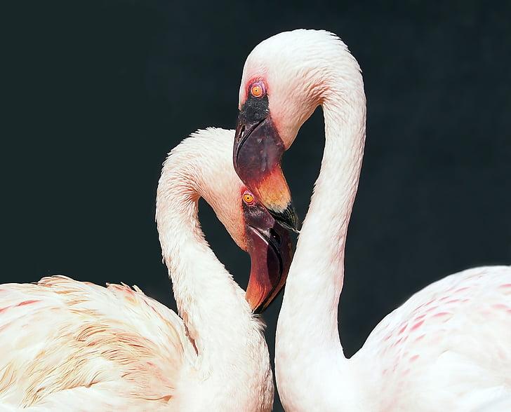 focus photo of lesser flamingos