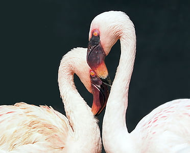 focus photo of lesser flamingos