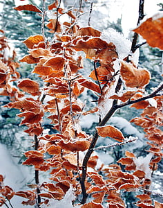 leaves covered with snow