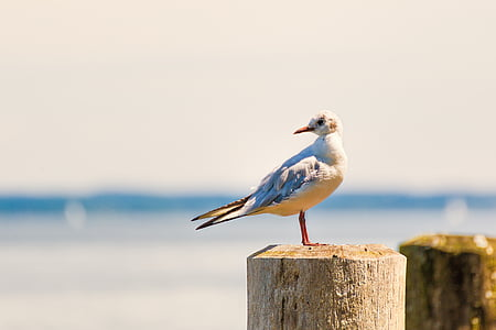 ring-billed gull perched on brown wood post