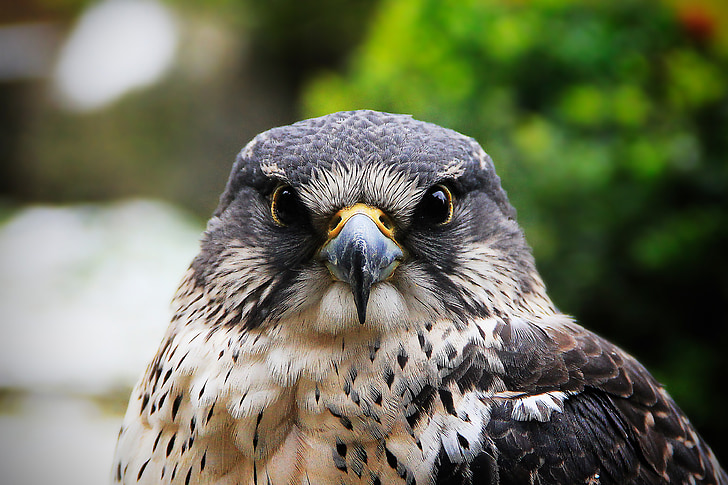 closeup photo of white and black eagle