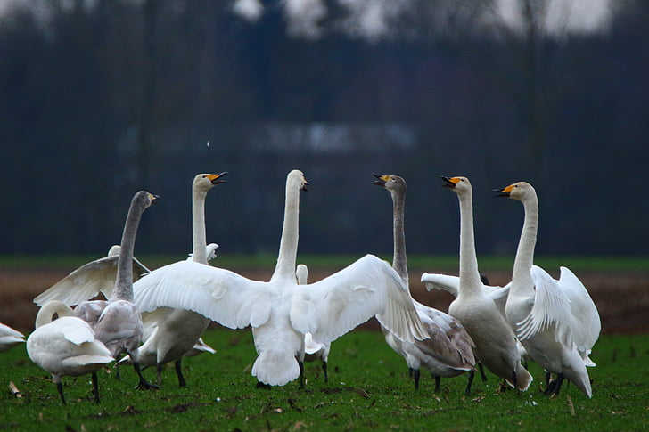 flock of white geese