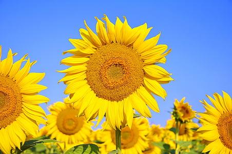 yellow sunglowers