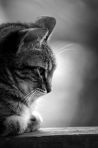 grayscale photo of brown tabby cat
