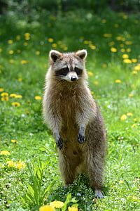 brown and white raccoon on green grass during daytime