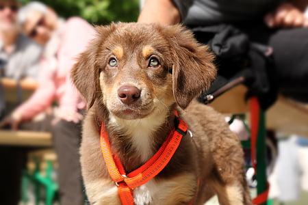brown and white Australian shepherd puppy
