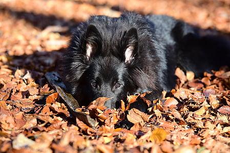 adult black German shepherd on dry leaves
