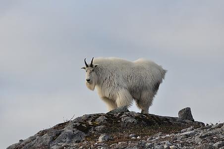 white wild goat on gray mountain at daytime