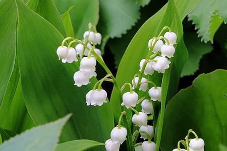 Lilly of the valley flower