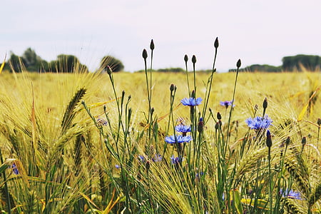 purple cornflowers in bloom beside green wheat grass