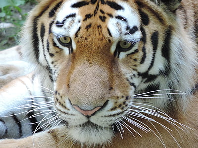 macro photography of brown, white, and black bengal tiger