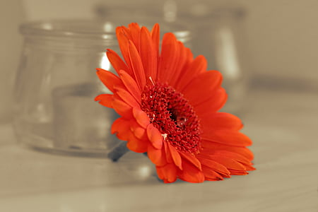 red Gerber daisy flower on table