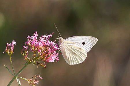 white brimstone butterfly on pink flower