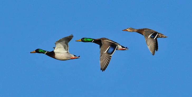 macro shot of three mallard ducks