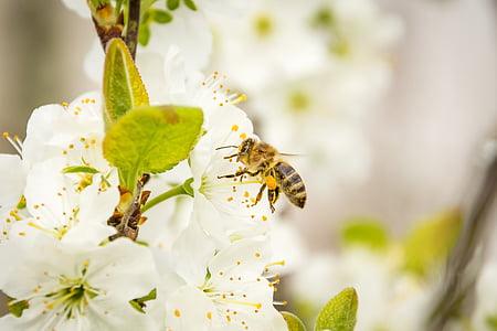 honeybee on white flower