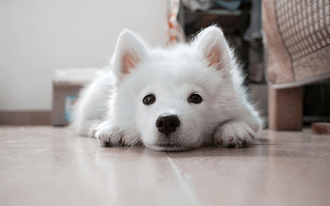 selective focus photography of white Samoyed puppy lying on floor
