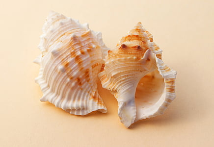 two white-and-brown shells