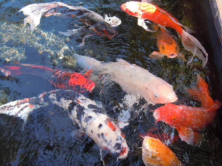 assorted-color koi fishes in water