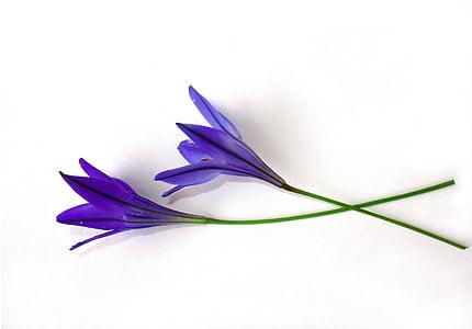 two purple rain lily flowers