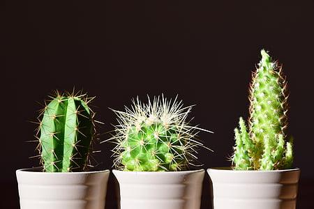three green cactus plants