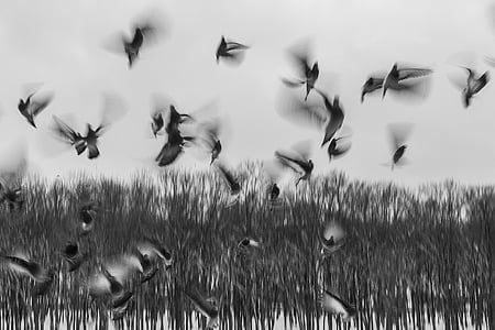 grayscale photography of mallard ducks