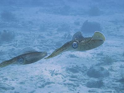 squids at underwater