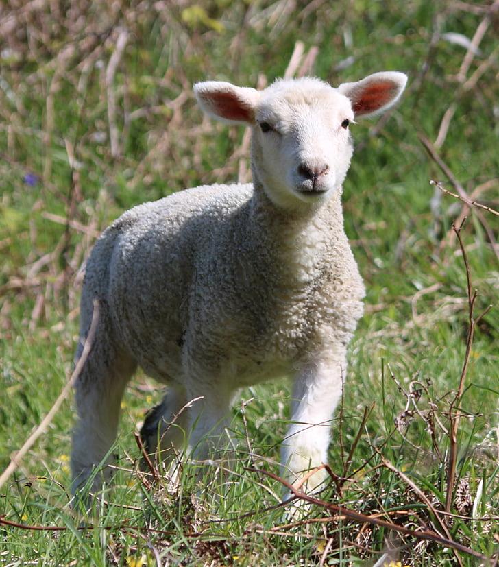 photo of white lamb