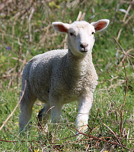 photo of white lamb