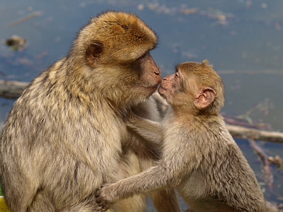 selective focus photography of adult monkey kissing baby monkey