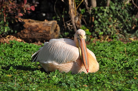 white and beige pelican