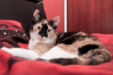 short-haired tan, white, and black cat lying on red cloth