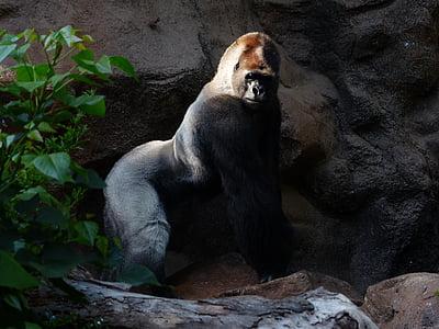 black and white silver-back gorilla