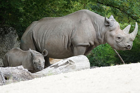 two gray rhinoceros standing near tree during daytime