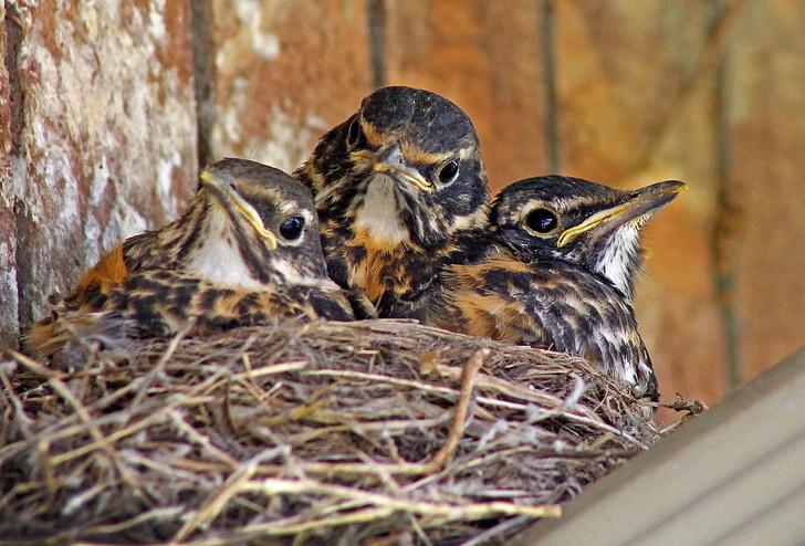 three chicks on nest