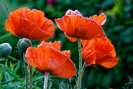 close-up photography of red poppies
