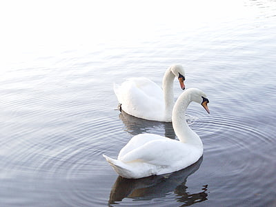 two white swans floating on body of water