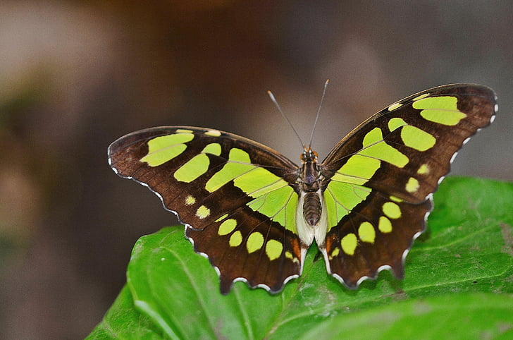 black and green butterfly