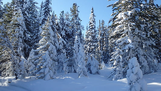 photo pine tree covered with snow