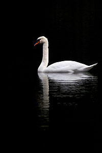 white goose on calm water