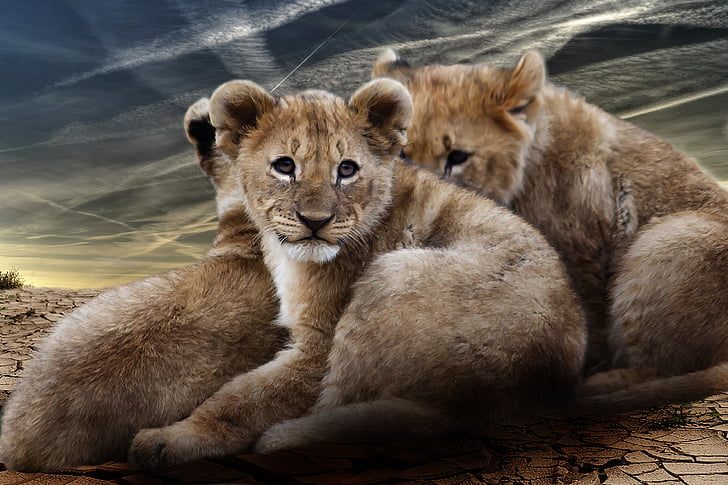 three lion cubs on deserted land