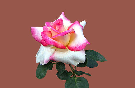 photo of red and white rose