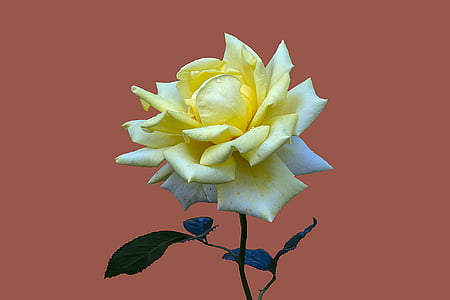 yellow and white rose flower