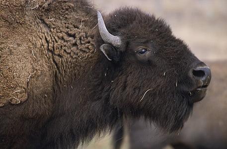 black water buffalo