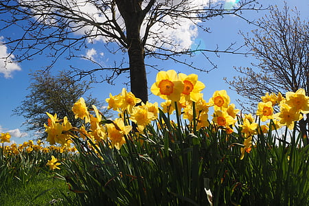 yellow-and-orange narcissus flower field under blue sky during daytime