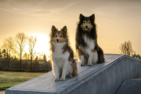 two brown-and-white Shetland sheepdogs