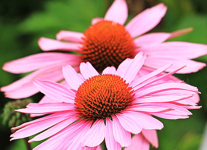 selective focus photography of two pink petaled flowers