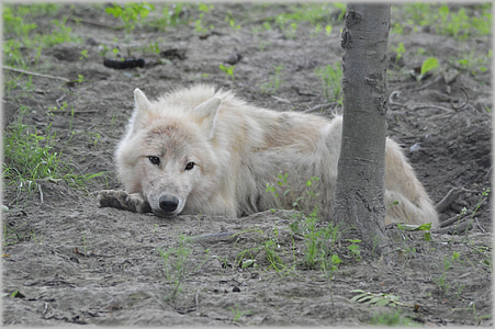wildlife photography of laying white wolf